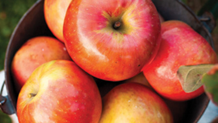Picture of Washington Sugar Bee Apples