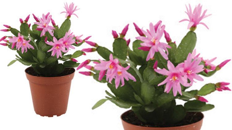 Picture of Spring Zygo Cactus