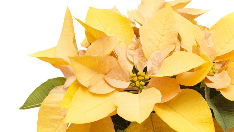 Picture of Poinsettias